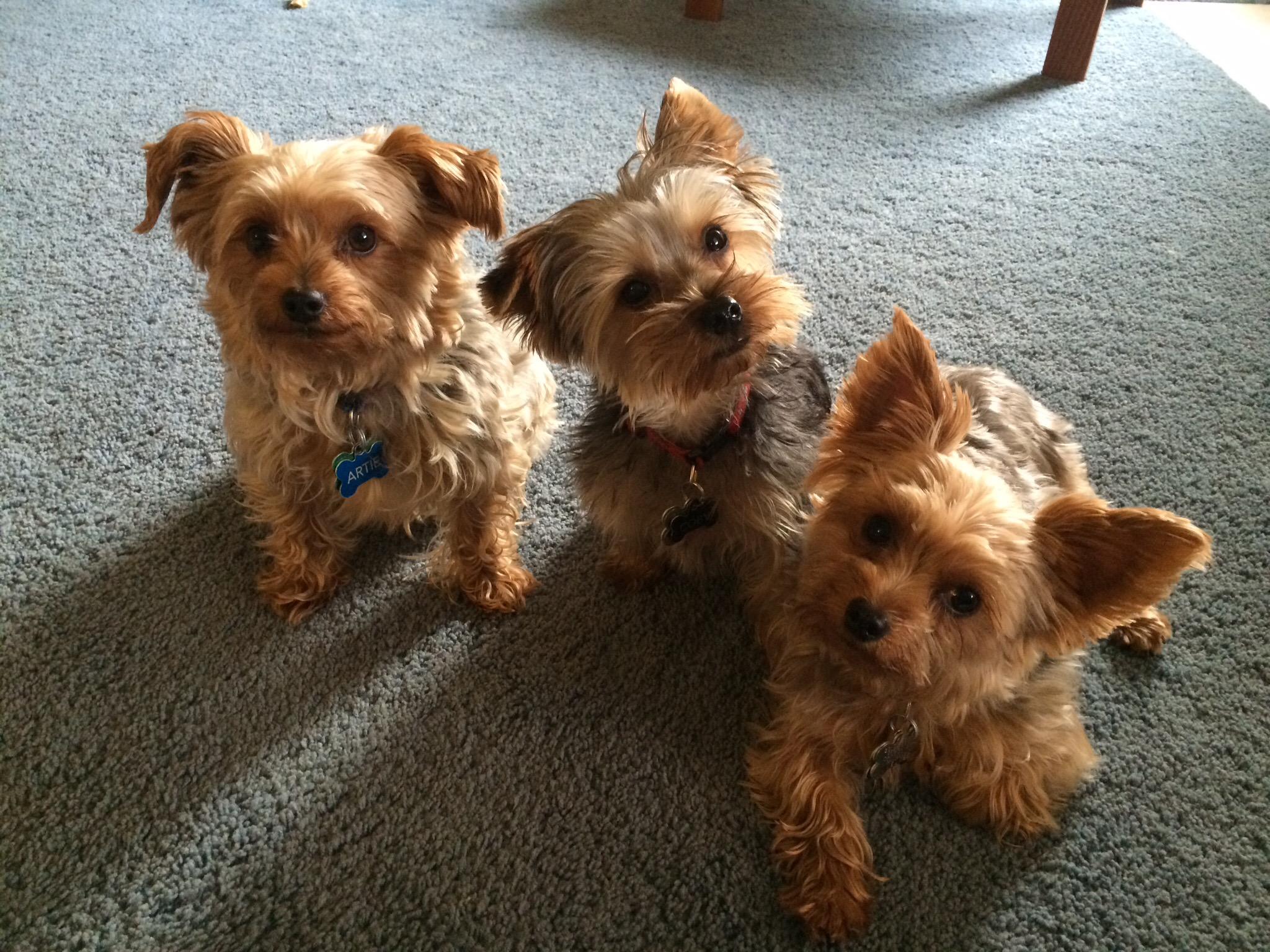 Best Small Dog Breeds Non Shedding